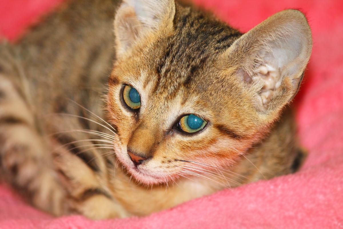 glare-of-the-innocent-ayesha-dhurue-photography-mumbai-cats (1)